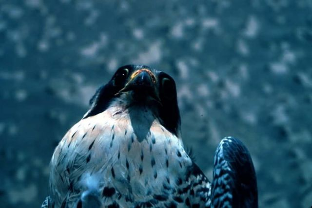 Peregrine Falcon Picture