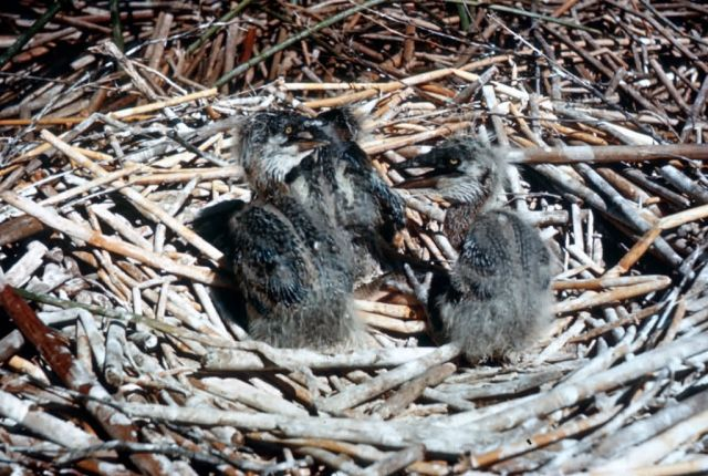 Great Blue Heron Chicks in Nest Picture