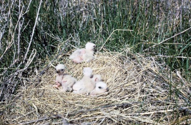 Marsh Hawk or Northern Harrier Chicks in Nest Picture