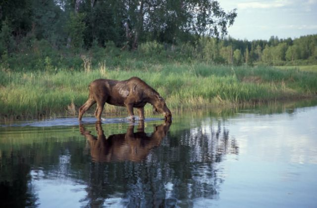 Moose Feeding in Lake Picture