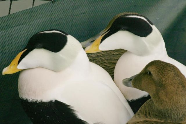 Common Eider Males and Females Picture