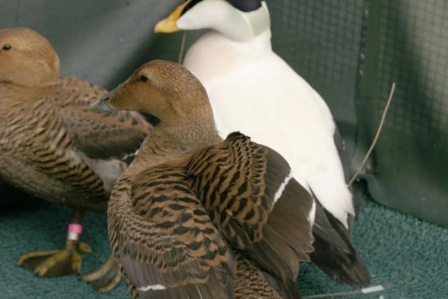 Common Eider Male and Females Picture