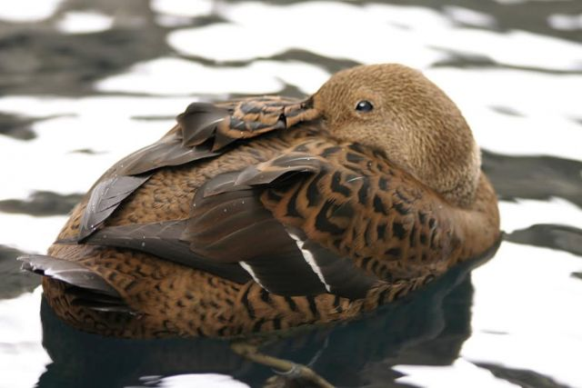 King Eider Female Picture