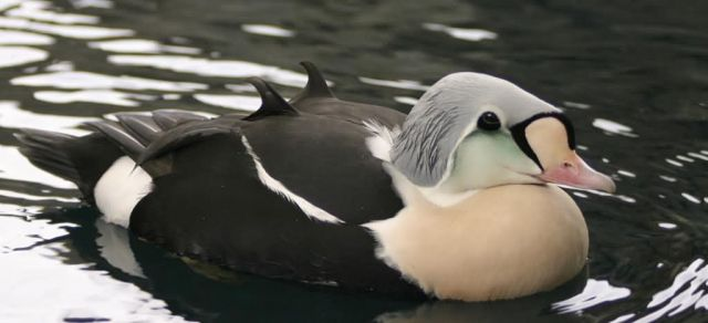 King Eider Male Picture