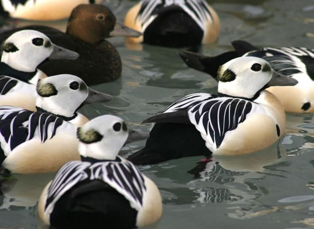 Steller's Eider Males and Female Picture