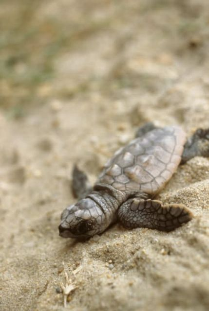 Loggerhead Sea Turtle Hatchling Picture