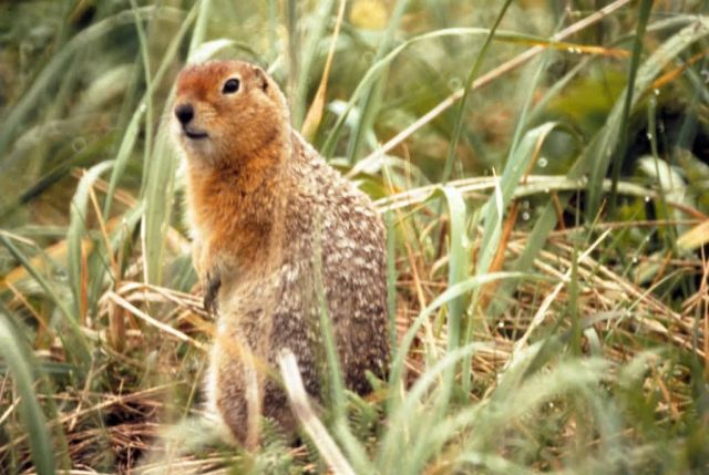 Arctic Ground Squirrel Picture