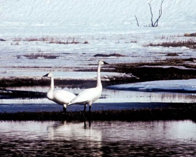 Trumpeter Swan Pair on Water Picture