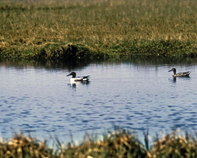 Northern Shoveler Male and Female Pair at Old Chevak Picture