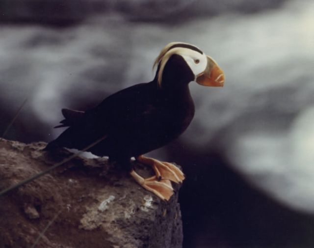 Tufted Puffin Portrait Picture