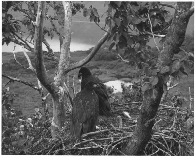 Bald Eagle Fledglings in Nest Picture