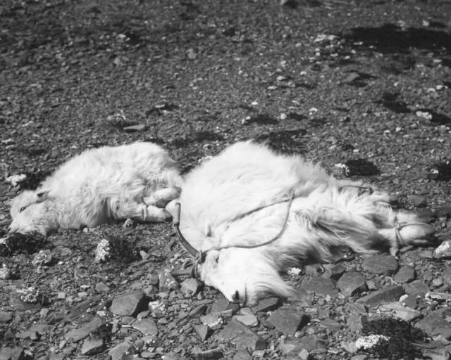 Mountain Goats Ready for Transplant on Kodiak Picture
