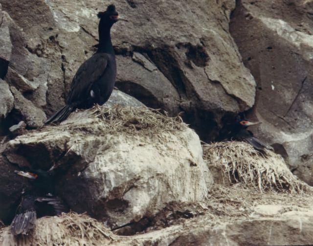Cormorants Picture