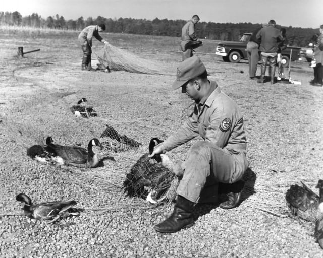 FWS93 Trapping and Banding Waterfowl Picture