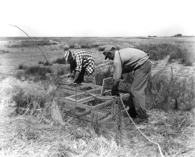 FWS2123 Waterfowl Survey (1951) Picture