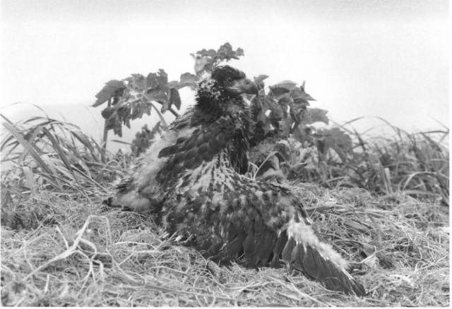 Immature Bald Eagle in Nest Picture