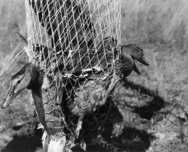FWS3912 Waterfowl Survey (1957) Picture
