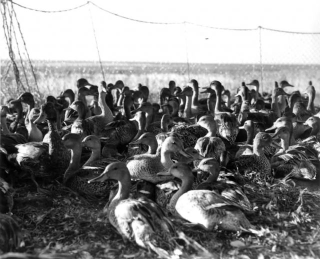 FWS2170 Waterfowl Survey Picture