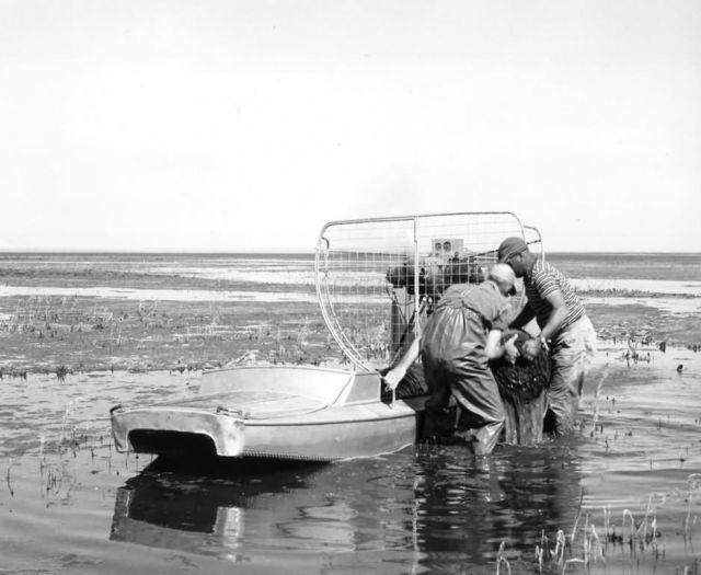 FWS2193 Waterfowl Survey (1951) Picture