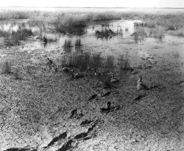 FWS2137 Waterfowl Survey (1951) Picture