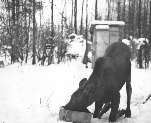 Moose Calf Transplanted to Copper Flats Picture