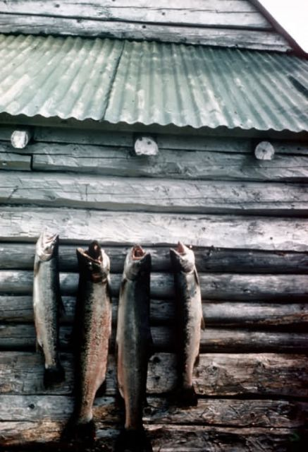 Steelhead Trout or Rainbow Trout Hanging on Side of Cabin Picture