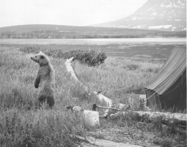 Bear in Camp Picture