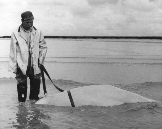 Man with Dead Beluga Whale Picture