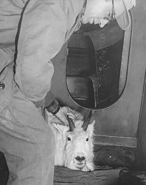 Mountain Goat Transplant Picture