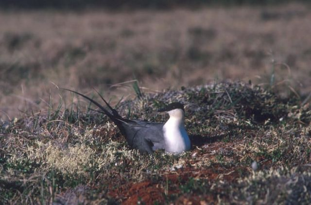Long-tailed Jaeger on Nest Picture