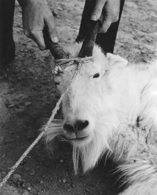 Mountain Goat Waiting Transplant to Kodiak Picture