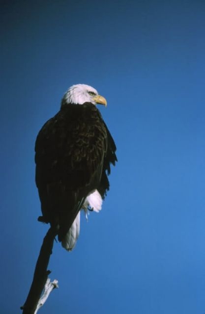 Patoga River NWR Bald Eagle Picture