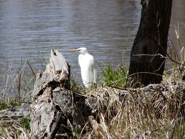 Great Egret Upper Mississippi Picture