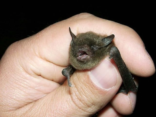Indiana Bat Picture