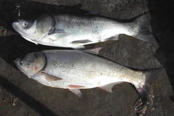 Bighead and Silver Carp Picture
