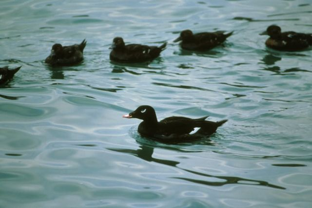 White-winged scoter Picture
