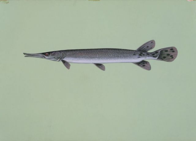Shortnose gar Picture
