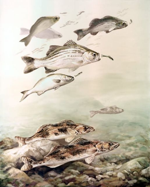 Saugers and White Bass Picture
