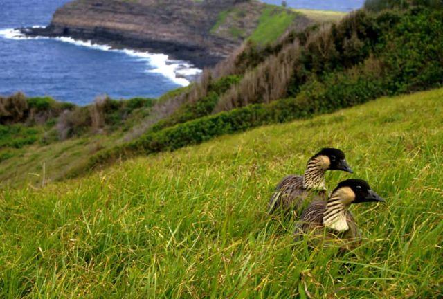 Hawaiian Geese - Nene Picture