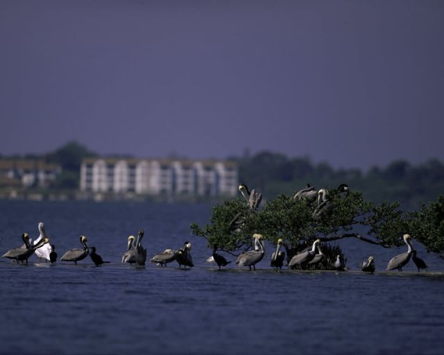 Pelican Island National Wildlife Refuge, Florida Picture