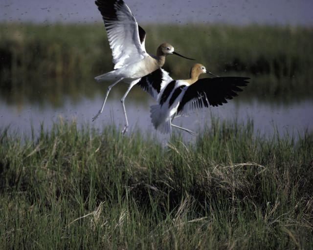Bear River Migratory Bird Refuge Picture