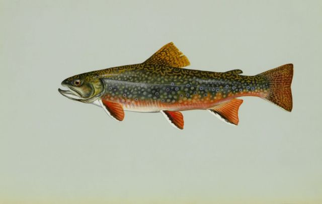 Brook trout Picture