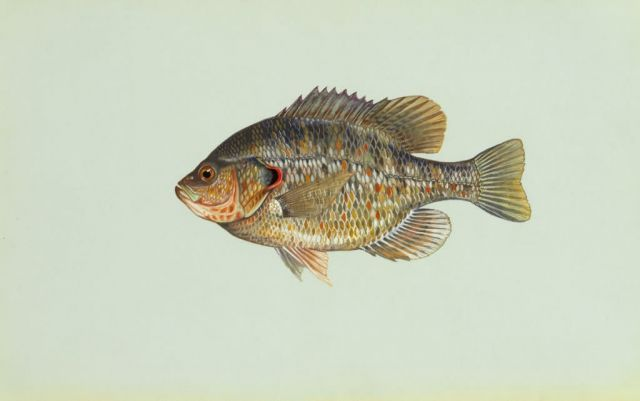Redear sunfish Picture