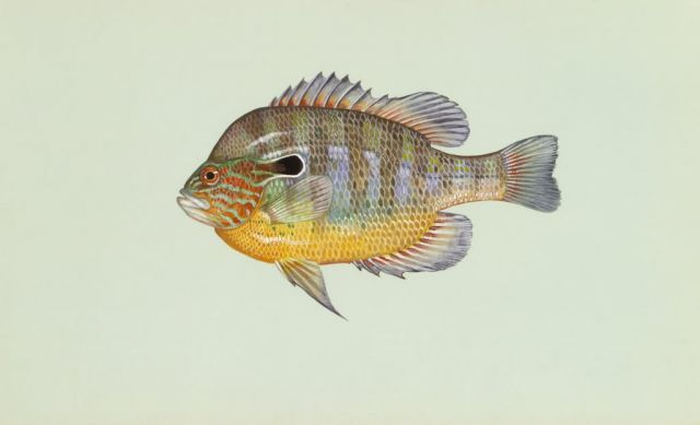 Longear sunfish Picture