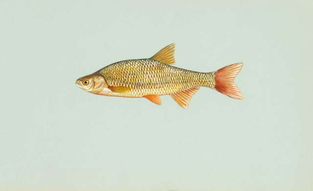 Golden shiner Picture