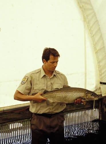 Nashua Fish Hatchery employee with Atlantic Salmon Picture
