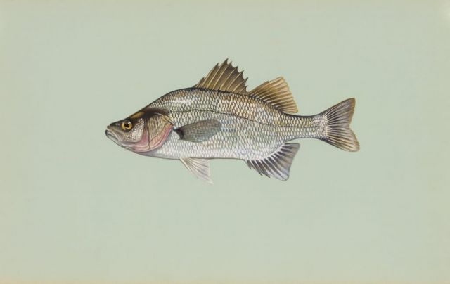 White perch Picture