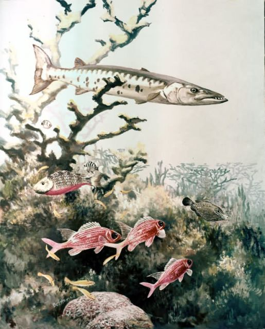 Barracuda and Reef Fishes Picture