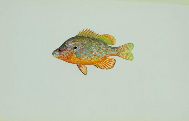 Orange spotted sunfish Picture