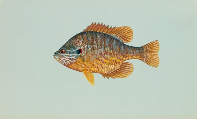 Pumpkinseed Picture